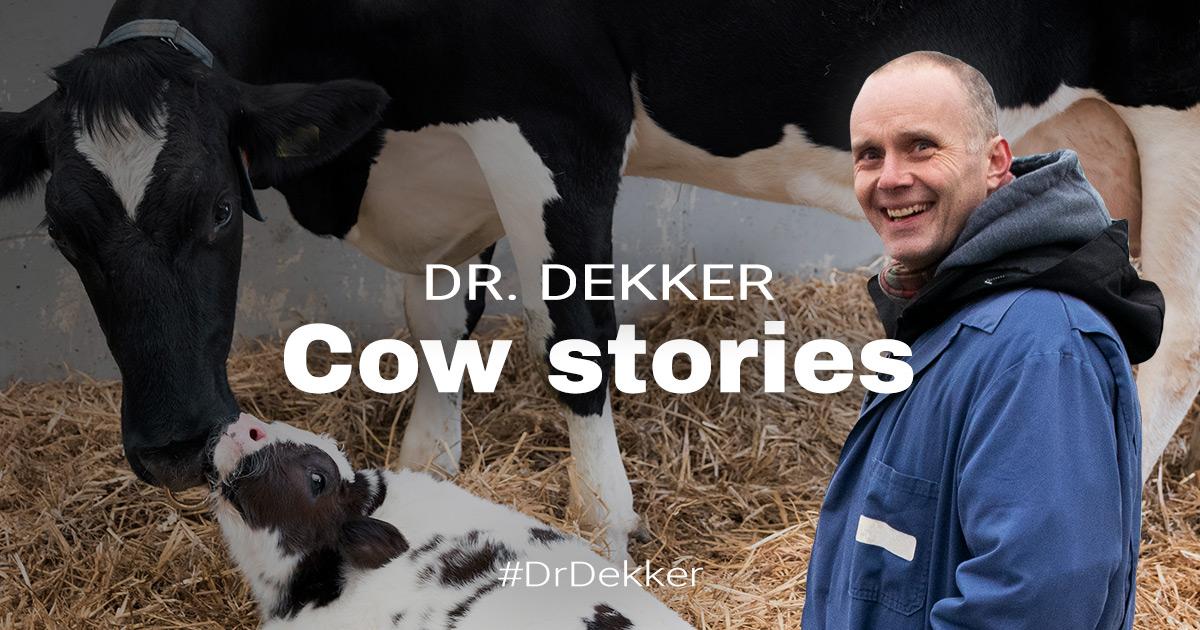 Hot Cow, No Calf - Investigating Heat Stress on a Welsh Dairy Farm | Dr. Dekker